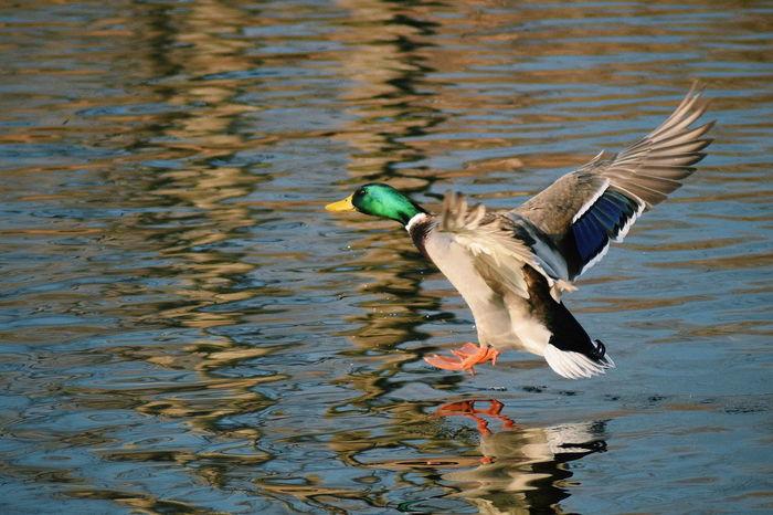 Wildlife Wildlife & Nature Wildlife Photography Nature Nature_collection Bird Spread Wings Water Lake Swimming Duck Mallard Duck Freshwater Bird Animal Wing Water Bird Flapping