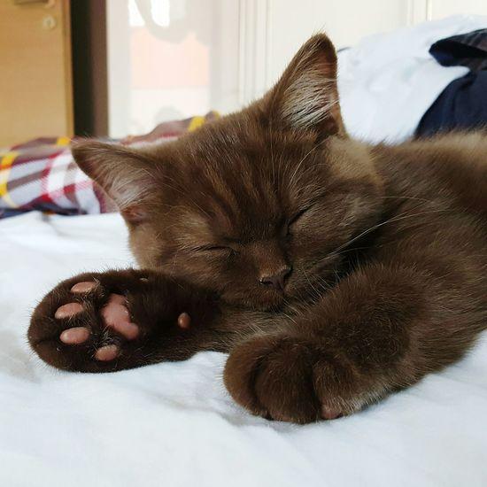 Pets Cats Cat Lovers Cats Of EyeEm Cat♡ Cats 🐱 Cats And Dogs Catlovers Katzen 💜 Kätzchen Katzen Katzenfoto Britisch Kurzhaar Bkh British Shorthair