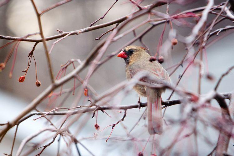Cardinal perching on twig