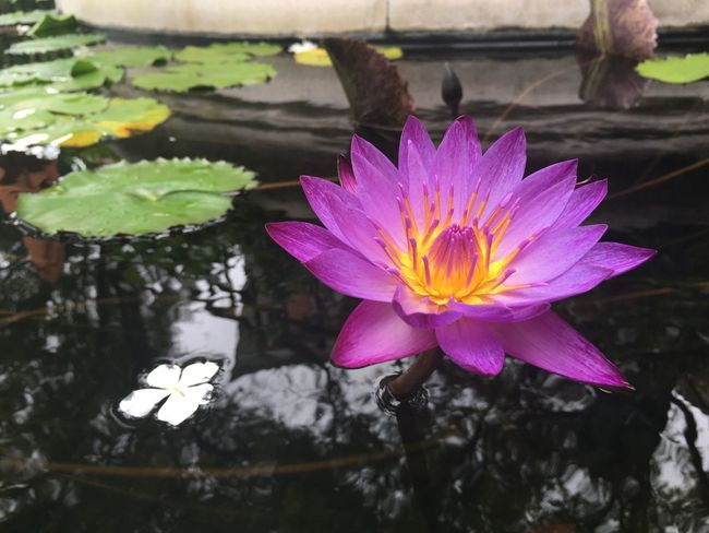 Floating On Water Freshness Pond Flower Water Water Lily Leaf Fragility Lotus Water Lily Lake Simplicity Petal Flower Head Growth Reflection Lily Pad Beauty In Nature Purple Nature