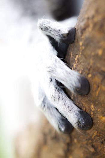 Close-Up Of Lemur Hand On Tree Trunk