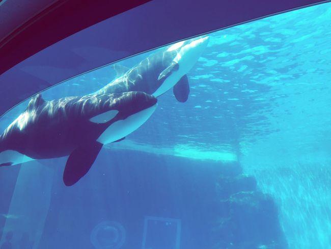シャチ 鯱 Killer Whale Orca
