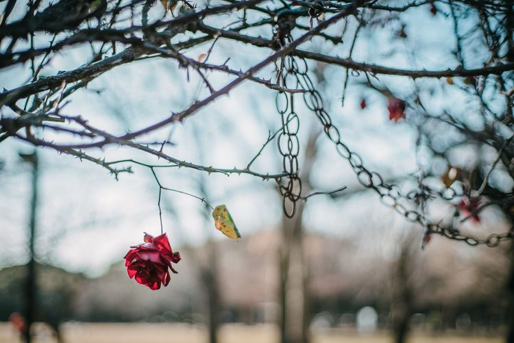 Rosé Rose - Flower Tree Focus On Foreground Plant Nature Red Hanging Day Berry Fruit Decoration Beauty In Nature Sky Fruit Winter No People Bare Tree Branch Outdoors Close-up Food