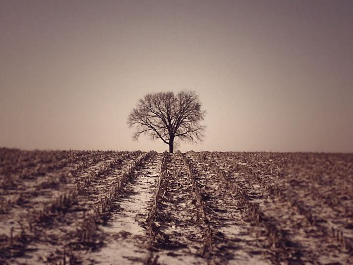 One Tree Sepia Tree In Corn Field Tree In Corn Field Vintage Tree In Corn Fie