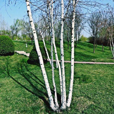 白桦树有点像并蒂莲啊 Almond Tree Growth Tree Tranquility Growth Nature Tranquil Scene Green Color Grass Outdoors No People Day Beauty In Nature Landscape Branch Sky