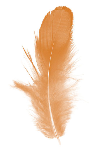 White Background Studio Shot Close-up Softness Indoors  No People Feather  Lightweight Fragility Vulnerability  Cut Out Brown Still Life Copy Space Nature Hair Single Object Beauty In Nature White Color High Angle View