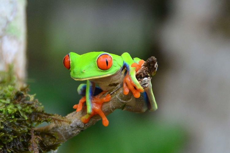 Close-up of red-eyed tree frog on twig