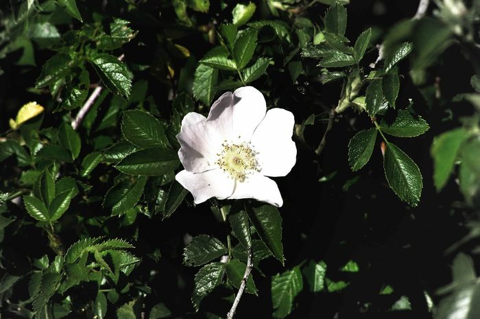 Love Nature Beauty In Nature Blooming Blossom Close-up Environment Flower Flower Head Fragility Freshness Green Color Growth Inlove Nature No People Outdoors Plant Rosa Rosa Canina Rosa Canina Hips Rose - Flower White Color Wild Rose Wild Roses