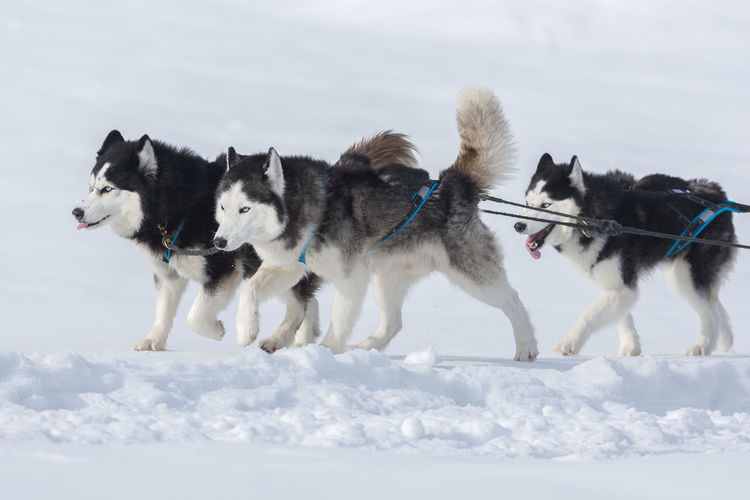 View of dogs on snow