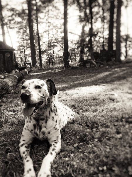The Essence Of Summer Dalmatian The Portraitist - 2016 EyeEm Awards Rescuedog