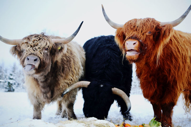 Highland cattle standing in a field closeup outdoors in winter