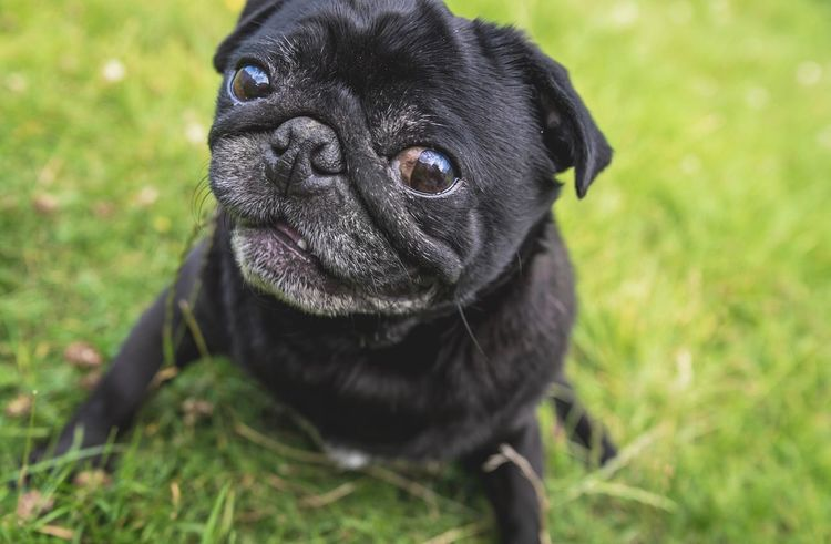 Smiler Pug Dog One Animal Pets Domestic Animals Focus On Foreground Mammal Animal Themes Outdoors No People Day Grass Close-up Pet Portraits