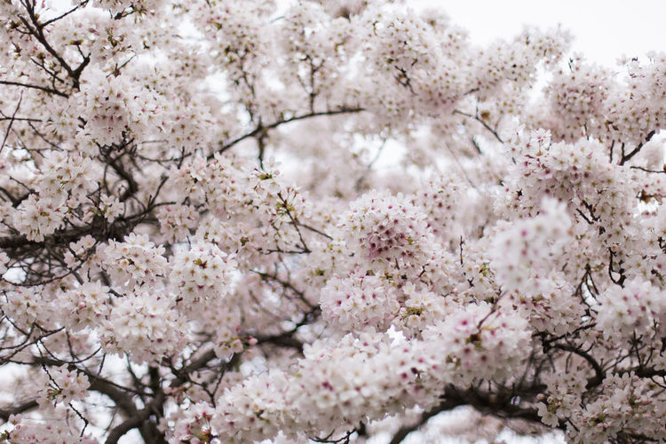 Cherry blossoms blooming on tree branches