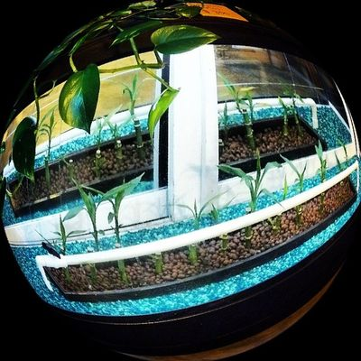 Bored at work with a fish eye app. Surelygrow Hydroponics Hydroculture Horticulture aeroponics plants gardening overgrow bamboo