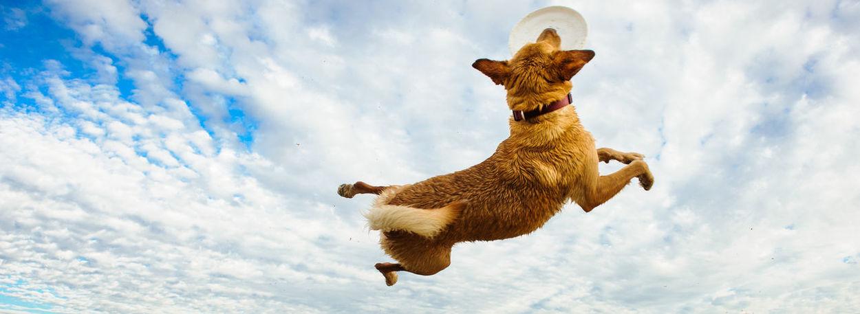 Yellow Labrador Retriever dog Animal Themes Cloud - Sky Day Dog Frisbee Jump Labrador Retriever Low Angle View No People Outdoors Pet Yellow Labrador Yellow Labrador Retriever