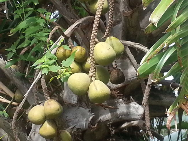 Taking Photos Nature_collection Beauty Of Nature Palm Tree Palm Tree Fruits Wildlife And Nature