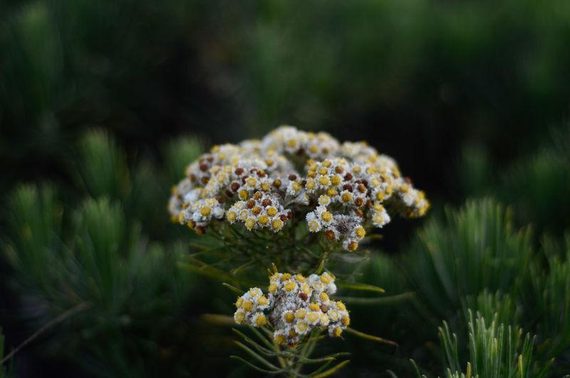 Beautiful tropical edelweiss flowers in bromo tengger semeru national park