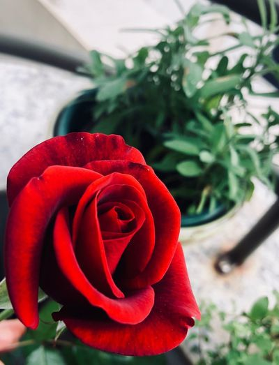Rose Perfume Flower Flower Flowering Plant Rosé Fragility Beauty In Nature Vulnerability  Nature Rose - Flower Close-up Petal Red