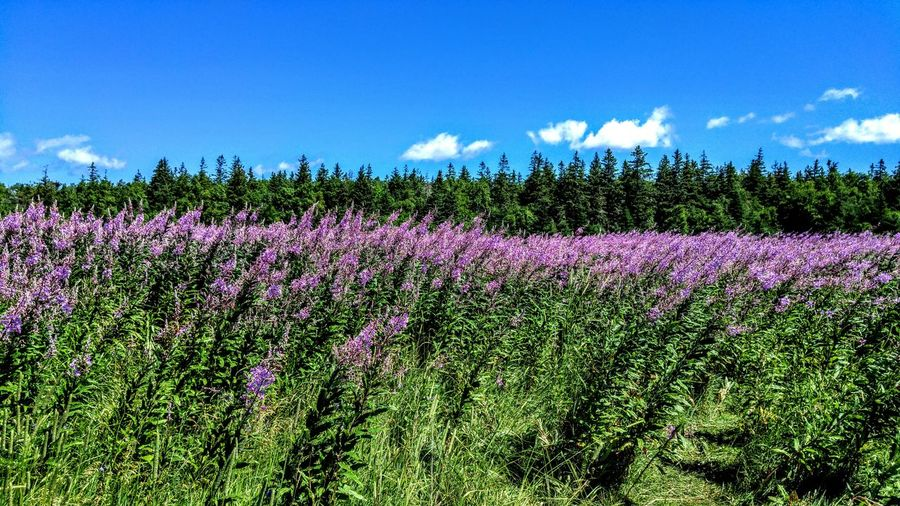 Flower Growth Beauty In Nature Field Nature Plant Purple Freshness No People Day Sky Flowerbed Outdoors Rural Scene Tranquility Landscape Flower Head Fragility Cloud - Sky Agriculture Prince Edward Island