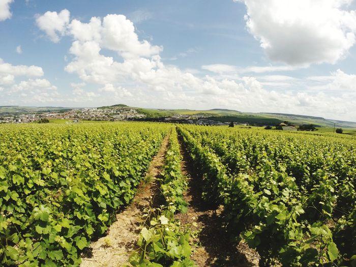 Champagne Champagne Champagne Grapes Epernay France Vivelafrance Plant Agriculture Land Landscape Crop  Food Field