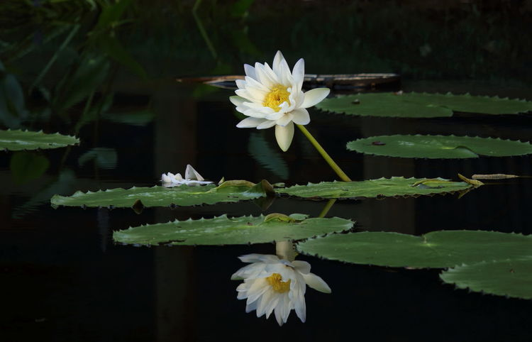 Have a wonderful day dear friends!😊😊 Flower Waterlily Waterlilypond Nature Beauty In Nature Close-up Blossom White Color Waterlilies White Waterlily Reflection Reflections In The Water in United States