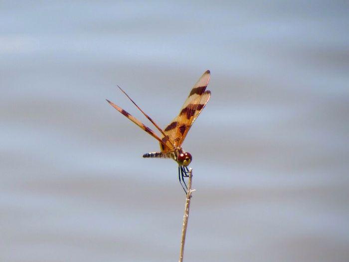 Dragonfly Bugs Eye4photography  EyeEm Hello World Taking Photos Nature Outside
