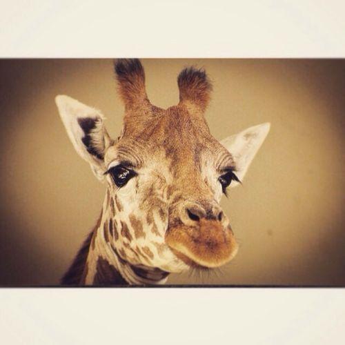 #Nature ure] #girafe Pet animal