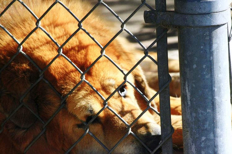 A Lion Sleeps Tonight At Rest Dog Gravity