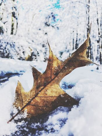 Whiteout Autumn Change Leaf Nature Cold Temperature Winter Weather Maple Leaf Frozen Snow Beauty In Nature Scenics No People Tranquility Close-up Day Dry Outdoors Maple Sky