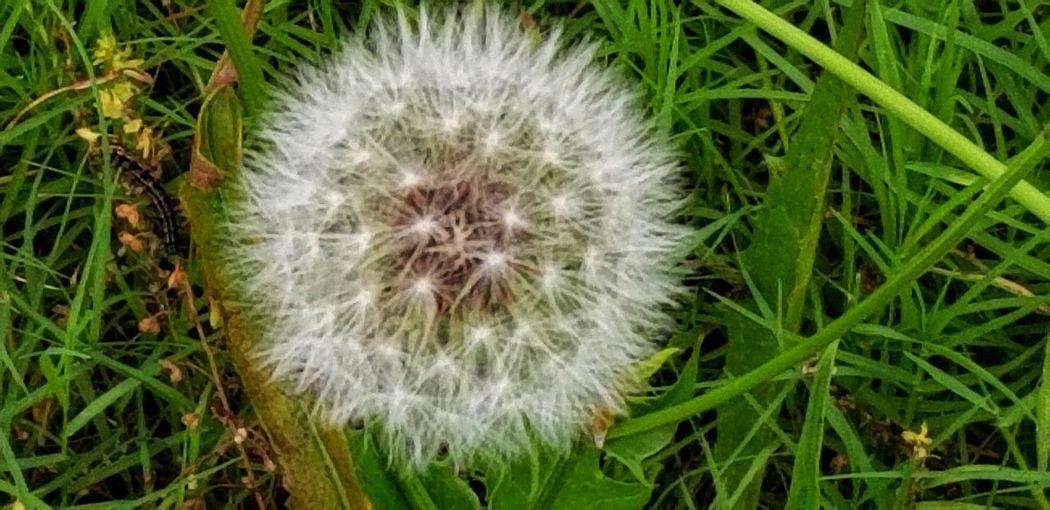 dandelion Grass