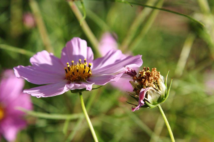 Flower Rose Flower Pink Flower Nature Photography Nature Beauty Estonian Nature Estonia Eesti Loodus цветок  Photography розовый цветок Природа природа эстонии фотография фото природы
