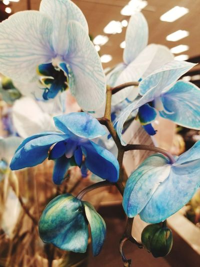 Blue Orchids Spring Is Coming  Spring