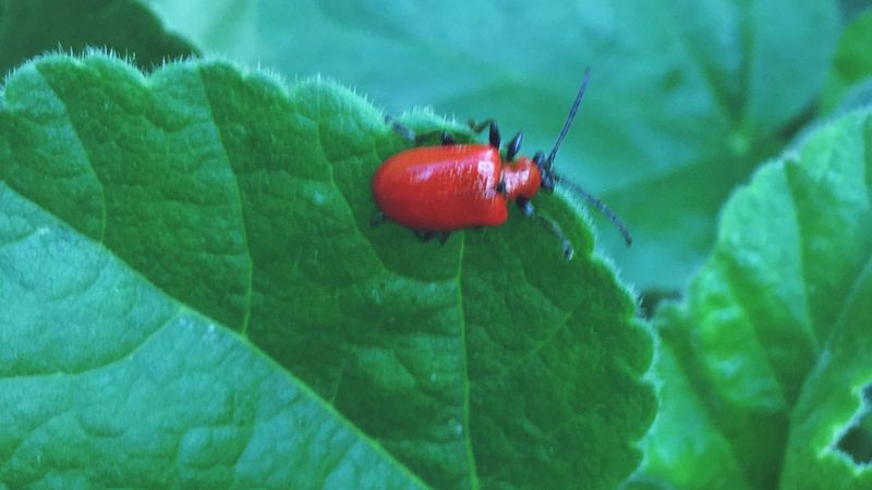 Insect EyeEm Best Shots - Nature Red Lily Beetle Red Lilly Beetle Red Green Color Invertebrate Close-up Animal Wildlife One Animal Insect