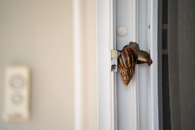 Giant snail crawling at window during rainy season.