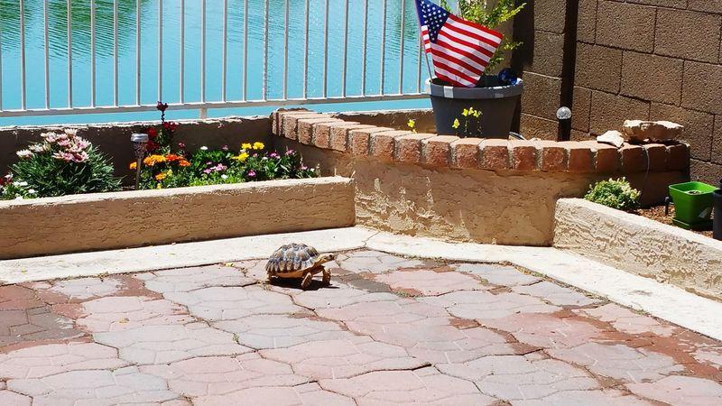 Memorial Day Tortoise Sulcata Tortoise Tortoise Flag Red, White And Blue American Flag Thankful