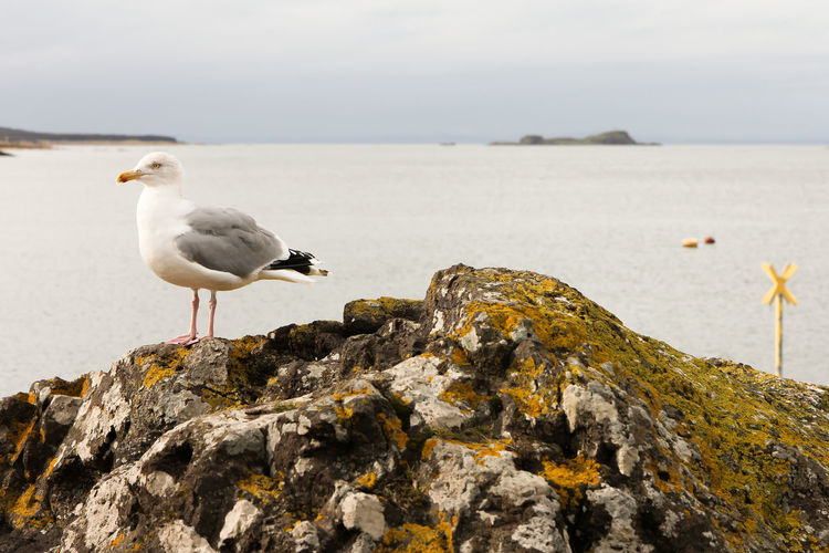 Seagull perched on rock by the sea Lichen Animal Animal Themes Animal Wildlife Animals In The Wild Beach Bird Day Grey Sky Horizon Over Water Land Nature No People One Animal Outdoors Perching Rock Rock - Object Sea Seagull Sky Solid Vertebrate Water