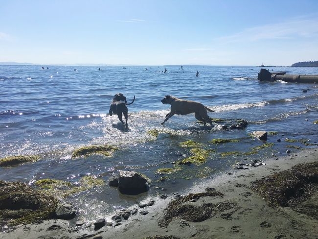 Gentle Giants playing at White Rock Beach . Great Dane English Mastiff Big Dogs Beach Ocean Summer Day