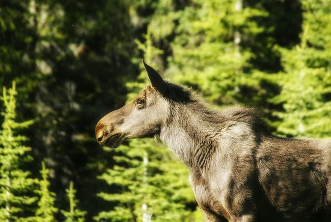 Canada Canmore Alberta Moose Wildlife Photos EyeEm Nature Lover Nature Nature_collection Nature Photography Wildlife Photography