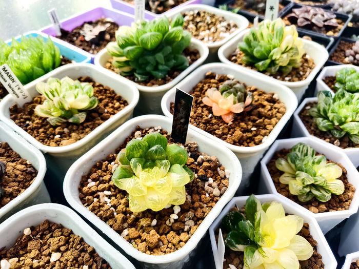 Cactus plants for garden decoration.