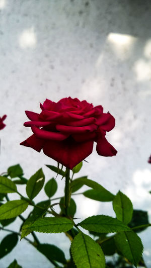 Beauty In Nature Blooming Blossom Bud Close-up Day Flower Flower Head Focus On Foreground Fragility Freshness Growth In Bloom Leaf Nature No People Outdoors Petal Plant Red Red Redrose  Rose - Flower Roses Stem