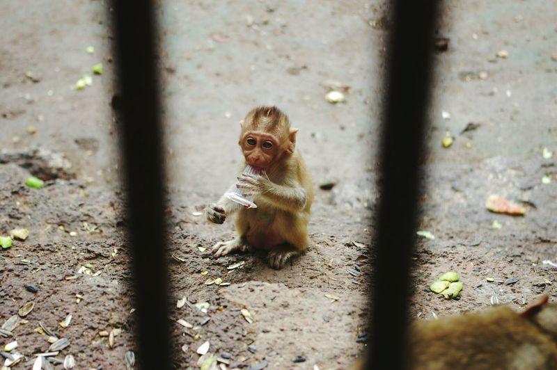Monkey Little Little Monkey Thailand Animal Animals