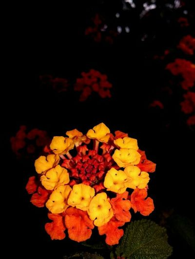 Flower Fondonegro Oscuro Luzysombra Naturaleza