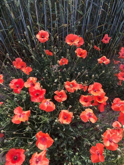 Mohnblume Flower