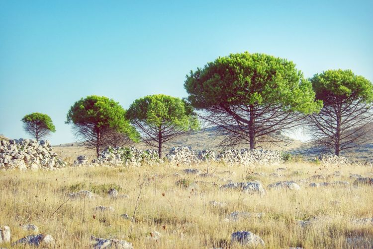 Landscape Pinetrees Pine Mediterranean  Dugi Otok Croatia Landscapes With WhiteWall Dry Grass Rocks Fence