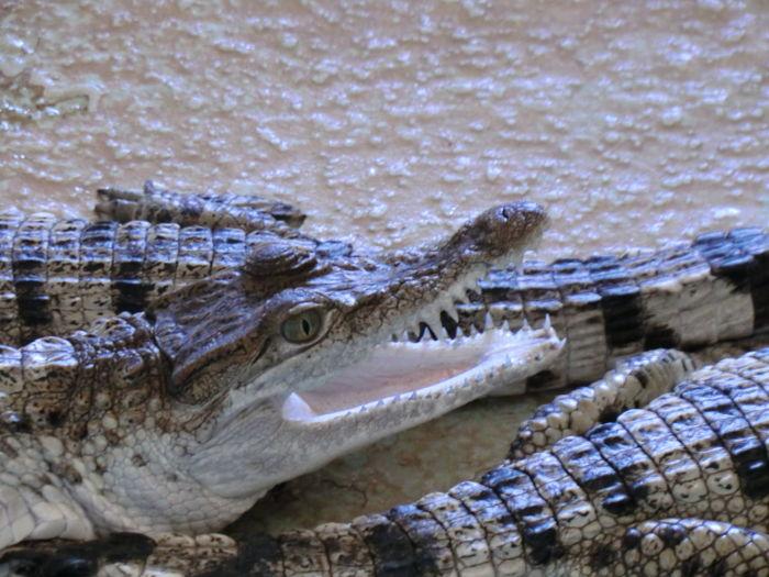 Crocodile Nature Animal Themes Close-up Baby Crocodie Baby Crocs