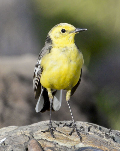 Close-Up Of Yellow Bird Perching On Wood