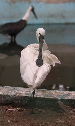 Bird Swan Water Lake Beak Full Length Water Bird Stork Swimming Animal Themes Sea Bird Ibis Preening Feather  Tropical Bird Peacock Fanned Out Peacock Feather Pelican Spread Wings Flamingo Black-headed Gull White Stork Swimming Animal Seagull Freshwater Bird Flapping Animal Wing