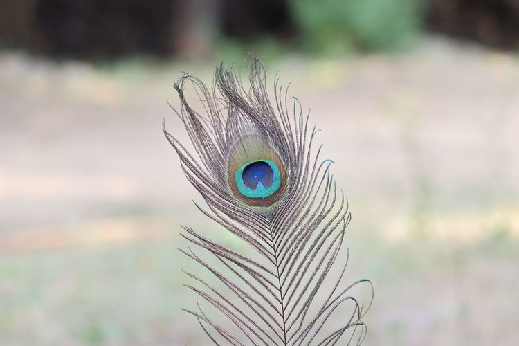 Close-up of peacock feather , feathers of bird