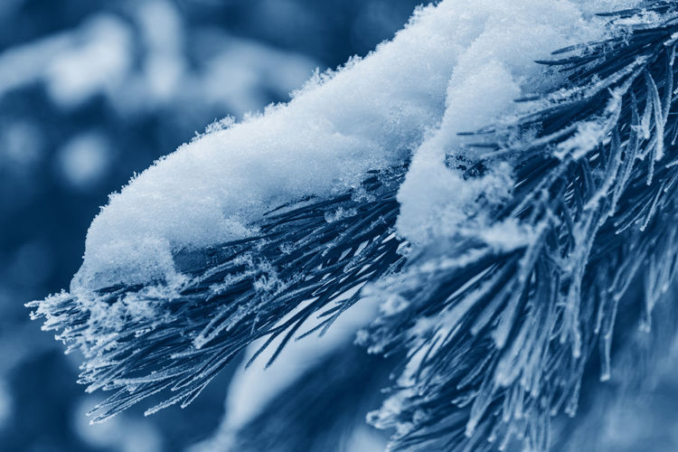 Coniferous tree covered is snow toned in color of the year 2020 classic blue