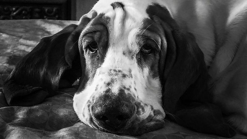 Domestic Animals Pets One Animal Animal Themes Dog Close-up Eye For Photography Eye4photography  EyeEm Best Edits EyeEm Gallery EyeEmBestPics EyeEm Best Shots EyeEmBestEdits Photography Themes Black And White Black And White Photography Black & White Blackandwhite Blackandwhitephotography Fortheartofblackandwhite Black And White Collection  EyeEm Best Shots - Black + White Bassethound Bassethound Moments Animal Head